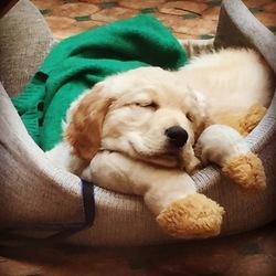 Bob, chien Golden Retriever