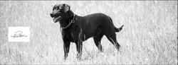 Bob, chien Labrador Retriever