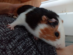 Bob, rongeur Cochon d'Inde