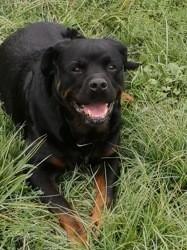 Bob, chien Rottweiler