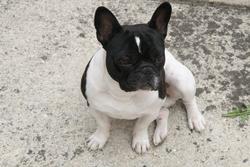 Bob, chien Bouledogue français