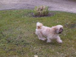 Bob, chien Lhassa Apso