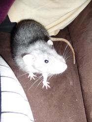 Bob, rongeur Rat