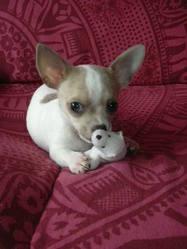 Bob, chien Chihuahua