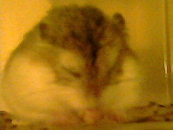 Bob, rongeur Hamster