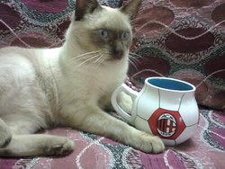 Bobassa, chat Thaï