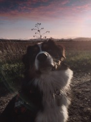 Bobby, chien Berger australien