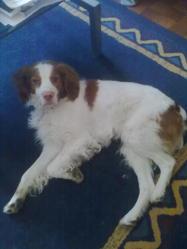 Bobby, chien Épagneul breton