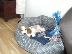 Bobby, chien Cocker anglais