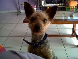 Bobby, chien Yorkshire Terrier