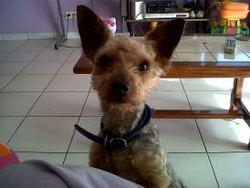 Bobby, chien Yorkshire Terrier