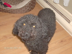 Bobby, chien Caniche
