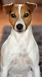Bobby, chien Jack Russell Terrier
