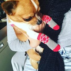 Bobby, chien Chihuahua