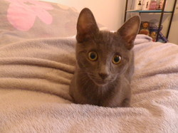 Bobby, chat Chartreux