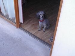 Bobe, chien Caniche