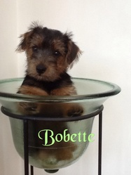 Bobette, chien Norfolk Terrier et Norwich Terrier