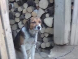 Bobi , chien Beagle