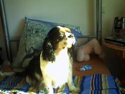 Bobi, chien Cavalier King Charles Spaniel