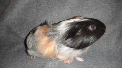 Bobichou, rongeur Cochon d'Inde