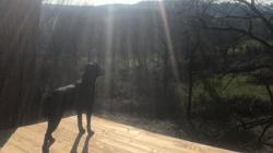 Bobine, chien Labrador Retriever