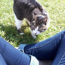 Bobine, chat Européen