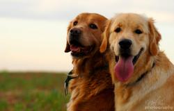 Boby, chien Golden Retriever