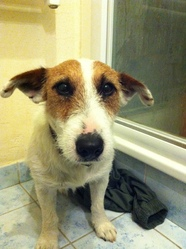 Boby, chien Jack Russell Terrier