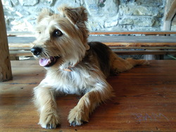 Boby, chien Yorkshire Terrier