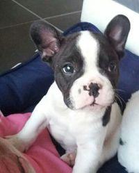 Boby, chien Bouledogue français