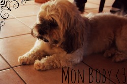 Boby, chien Lhassa Apso