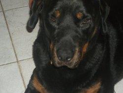 Bod, chien Rottweiler