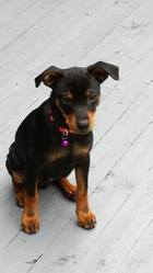 Body    Body Love, chien Pinscher