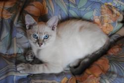Boissette, chat Européen