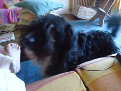 Bola, chien