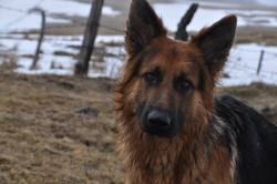 Bollocks, chien Berger allemand