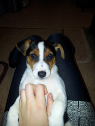 Bolt, chien Jack Russell Terrier