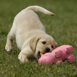 Bonbon, chiot Labrador Retriever
