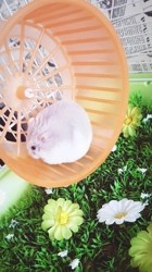 Bonbon, rongeur Hamster