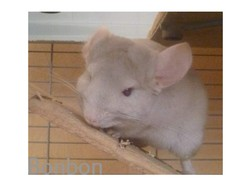 Bonbon, rongeur Chinchilla