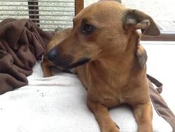 Bones, chien Jack Russell Terrier