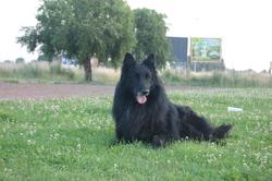 Bonhomme, chien Berger belge