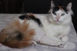 Bonita, chat Oriental