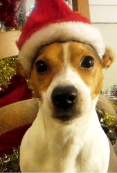Bonny, chien Jack Russell Terrier