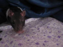 Bonnie, rongeur Rat