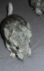 Bonnie, rongeur Chinchilla