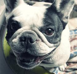 Vanille, chien Bouledogue français
