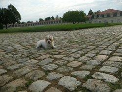 Bonnie, chien Parson Russell Terrier