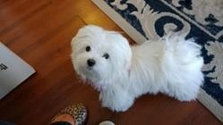 Bonnie, chien Bichon maltais