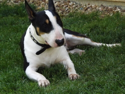 Bonnie A Adopter , chien Bull Terrier